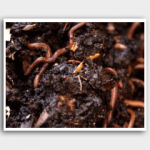 Compost Worms and organic green waste disposal