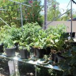 Organic Hydroponic Vegetables, is it possible?