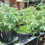 Growing Vegetables in Containers its all in the soil