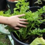 How I Grow Celery organic. ? Hydroponics or Garden